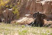 Desert-adapted elephants. These African elephants (Loxodonta africana) are adapted to living in desert areas of Namibia and Angola. Photographed in the Hoanib Riverbed, Damaraland, Namibia. in August