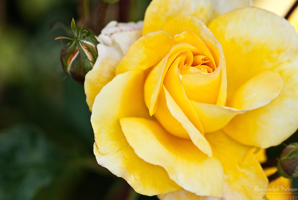 Rose Showy Gold