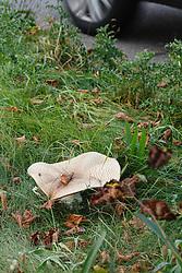 Reuzenchampignon, Agaricus augustus