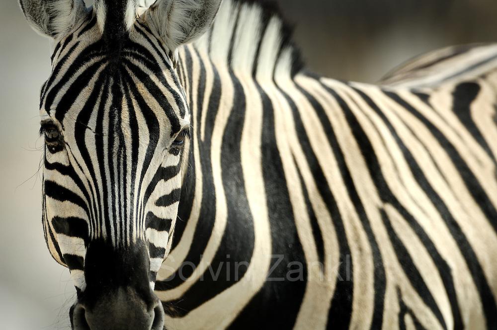 Common Zebra (Equus quagga), Namibia, Etosha National Park