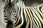 Common Zebra (Equus quagga), Namibia, Etosha National Park