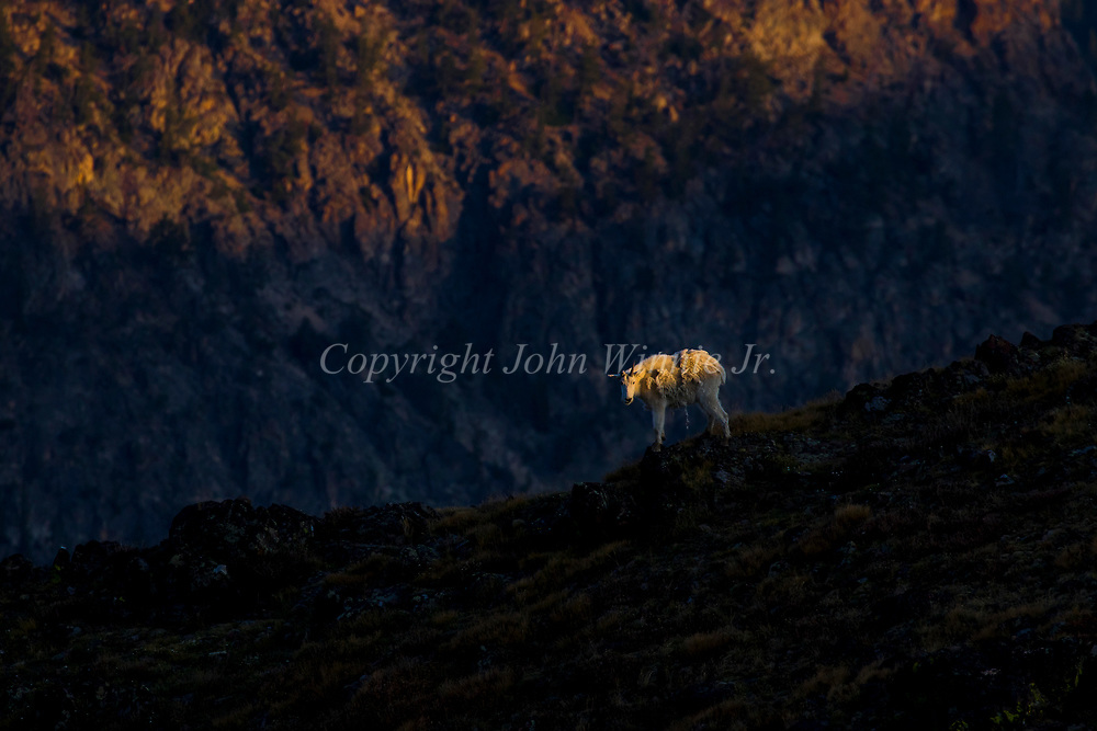 Mountain goats, Beartooth Plateau, Montana, Wyoming