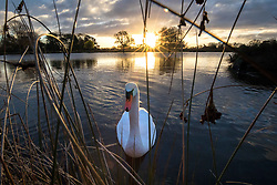 © Licensed to London News Pictures. 08/12/2017. London, UK. An inquisitive swan at sunrise on a cold winter morning in Bushy Park. Forecasters recorded subzero overnight temperatures as Storm Caroline hits Britain. Photo credit: Rob Pinney/LNP