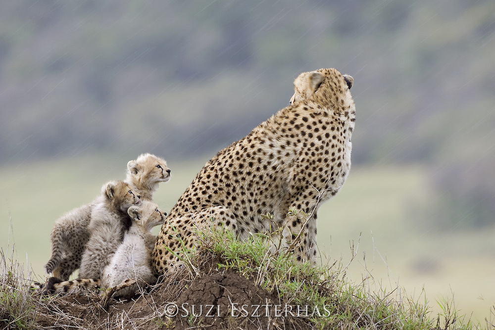 Cheetah<br /> Acinonyx jubatus<br /> 8 week old cub(s) watching mother during rainstorm<br /> Maasai Mara Reserve, Kenya