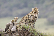 Cheetah<br /> Acinonyx jubatus<br /> 8 week old cub(s) watching mother during rainstorm<br /> Maasai Mara Reserve, Kenya