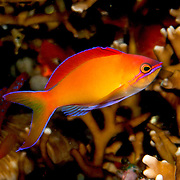 Redfin Anthias inhabit reefs often along the upper edge of steep slopes. Picture taken Bali, Indonesiai.
