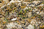 Black Turnstone (Arenaria melanocephala) foraging along shore in Prince William Sound in Southcentral Alaska. Spring. Afternoon.