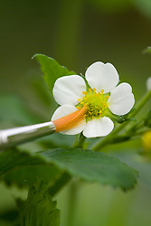 Hand - pollinating strawberry plants with a paint brush