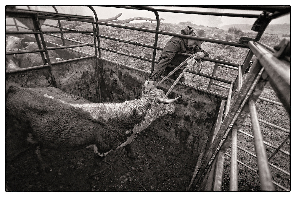 Sheldon Mattos tries to calm a very angry bull in the back of cattle trailer before the journey up the mountain.