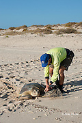 herpetologist researcher Dr. Mick Guinea, of Austurtle, tags a female flatback turtle that has just nested at nesting beach for Australian flatback sea turtle, Natator depressus, Australia