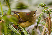 The ruby-crowned kinglet flitted through the weeds at ground level looking for small morsels to eat among the frost wilted leaves. The red top knot of the male showed briefly as it twited to look under a leaf.