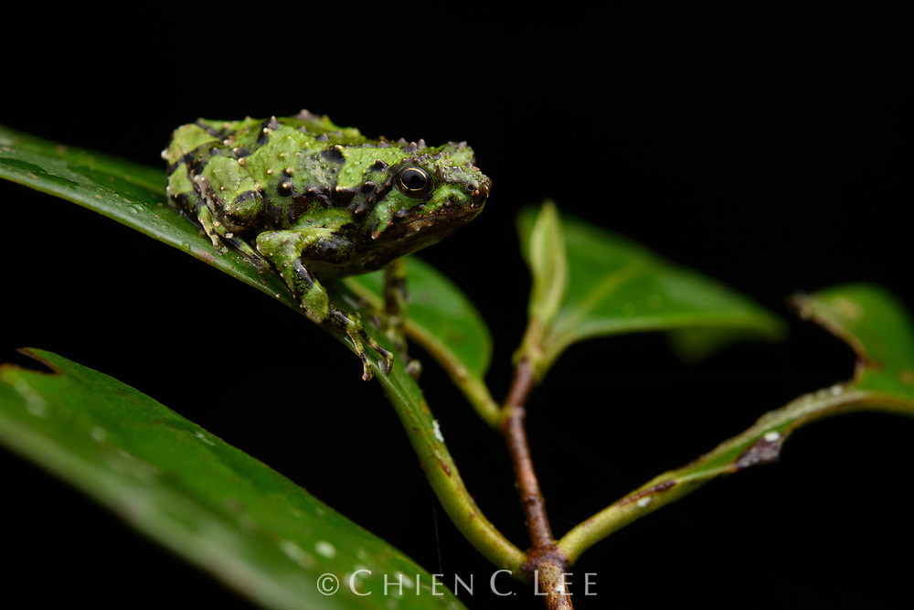 Spiny narrow-mouth frog (Scaphiophryne spinosa)