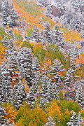 Fresh snow on fall aspens and pines along Bishop Creek, Inyo National Forest, Sierra Nevada Mountains, California