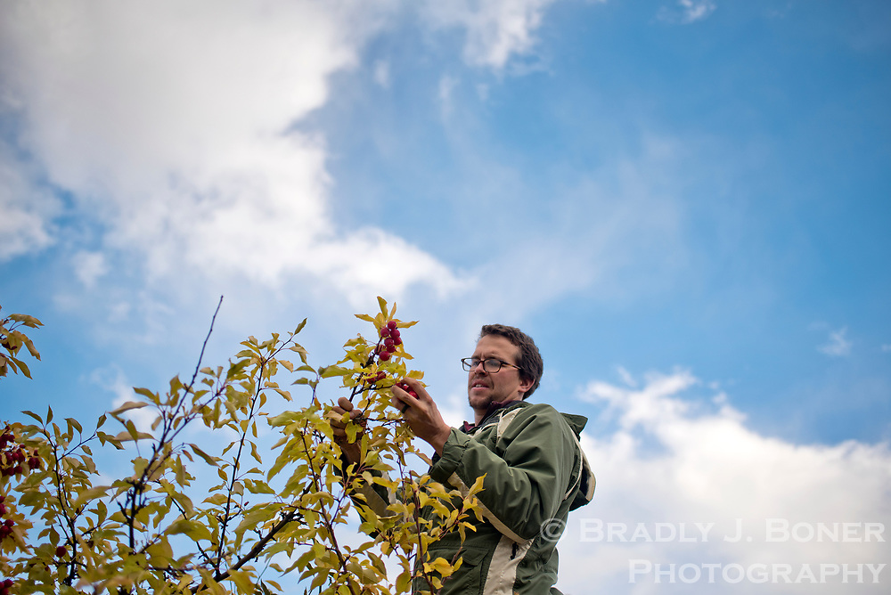 Ian McGregor picks crabapples from a tree outside Wilson Elementary School last week. McGregor and two friends are gathering the apples from several trees in the valley as part of a contract with the Teton Conservation District to try and reduce human conflicts with wildlife such as moose and bears. See this week's Jackson Hole News&Guide for a story.