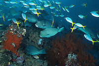 Bumphead Parrotfish and Fusiiliers<br /> <br /> Shot in Indonesia