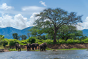 A herd of African Bush Elephant (Loxodonta africana) Photographed at Lake Kariba National Park, Zimbabwe