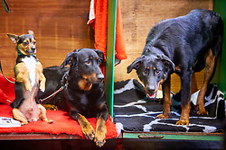 © Licensed to London News Pictures. 08/03/2018. Birmingham, UK.  Crufts dog show in the NEC. In this picture: Mistral (left),  a cross between an American Terrier and a Chihuahua, sits next to Miss Scarlet Du Regard Mordant To Tallowah and Tallowah Moulin Rouge, both Beaucerons.  Photo credit: Cliff Hide/LNP