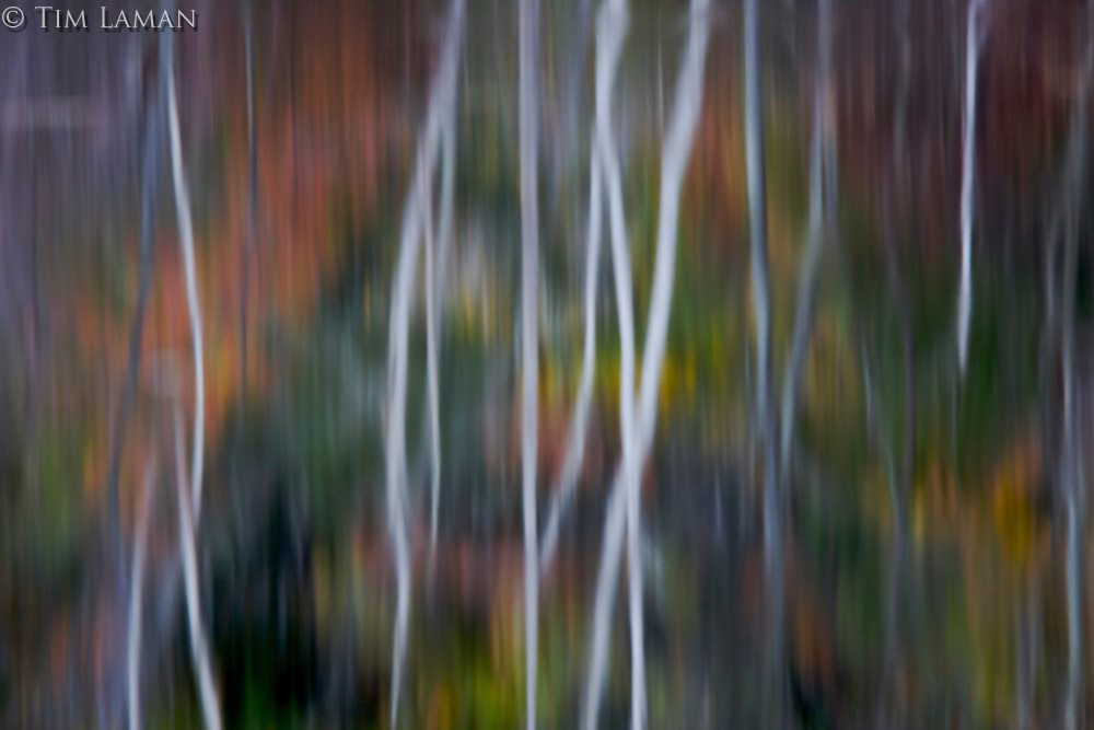 """Birch Reflections"".Birch trunks and fall colors reflect in flooded Heywood Meadow at Walden Pond."