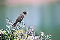 A female Yellow-headed Blackbird  (Xanthoecphalus xanthoecphalus) Grayish brown overall, with a yellow chin and breast. Wetlands habitat around Cotton Lake in the San Luis Valley, Colorado.  USA