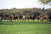Knebworth House, Hertfordshire, UK 2006: small herd of red deer in the park grounds, including fine antlered stag