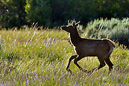 Running Elk Calf, Grand Teton National Park