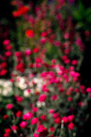 red and white flowers in soft focus