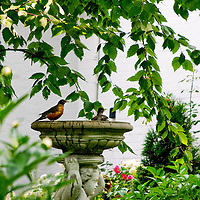 Robins enjoying a bird bath in a rose garden.