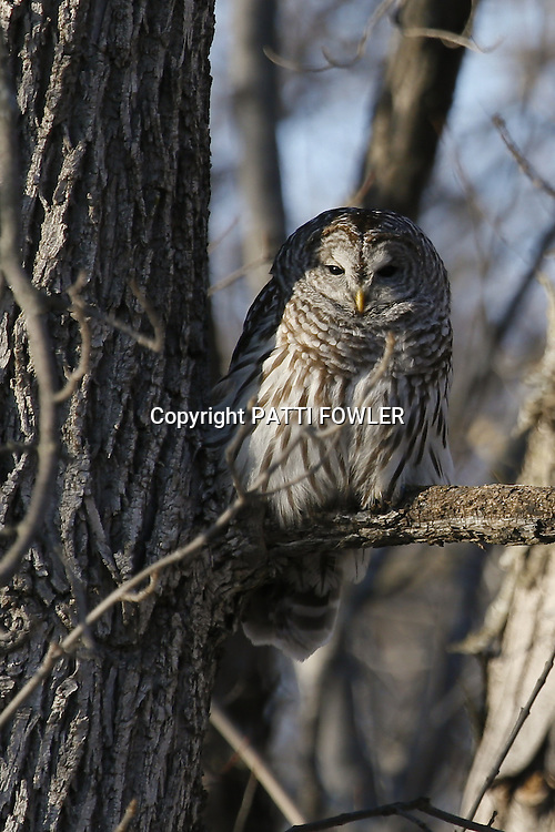 Barred owl in tree branches