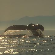 Humpback whale (Megaptera novaeanglia) sounding, Stephen's Passage, Southeast Alaska, USA.