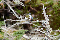Belted Kingfisher (Megaceryle alcyon) perched in a tree, Broad Cove, Nova Scotia, Canada