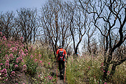 """02 June 2018, Vesuvius Nationa Park - One day around the Vesuvius National Park with a group of local people to the discovery the consequences and conditions about a year after the fires that destroyed 50% of the Vesuvius National Park. The event was organized by the """"Civic Network for the Park"""". That is a coordination of 15 Vesuvian associations that have signed the """"Manifesto for the Rebirth of the Vesuvius National Park""""."""
