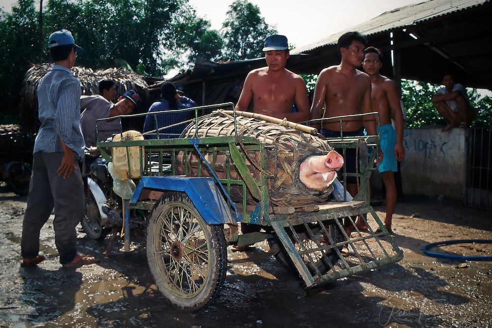 Transporting a large pig in the Mekong Delta.