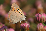 The Small Copper, American Copper or the Common Copper, Lycaena phlaeas Butterfly shot in Israel, Summer July
