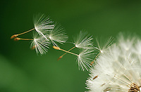 Dandelion seeds flying extreme close up