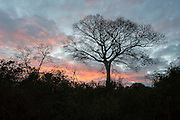 Dawn breaking over the Catapu woodlands with the silhouette of a large tree, Catapu, Sofala Province, Mozambique