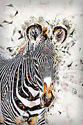Digitally enhanced image Grevys Zebra, Equus gevyi, Photographed at Samburu National Reserve, Kenya