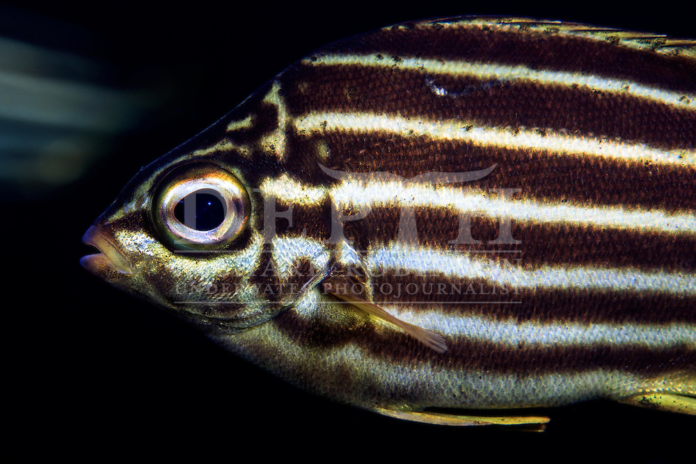 Atypicthys latus (Mado).<br /> Saturday 03 October 2015.<br /> Photograph Richard Robinson &copy; 2015.<br /> Dive Number: 757.<br /> Site: Denham Bay, Raoul Island, Kermadec Islands, New Zealand.<br /> Dive Buddy: Steve Hathaway.<br /> Boat: Braveheart.<br /> Temperature: 19 degrees .<br /> Maximum Depth: 21.1 meters.<br /> Bottom Time: 60 minutes.<br /> Bottom Time to Date: 42,190 minutes.<br /> Cumulative Time: 42,250 minutes.