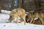 A pack of gray wolves in wooded winter habitat. Captive pack.