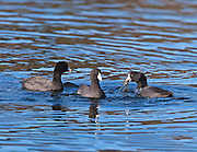Coot gathering at breakfast