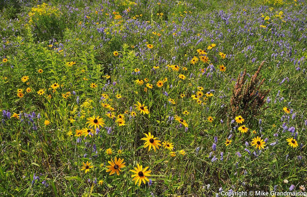 WIldlfowers (Black-eyed susans - Rudbeckia hirta - and vetch) in meadow<br /> Pendleton<br /> Ontario<br /> Canada