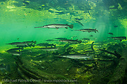Longnose Gar, Lepisosteus osseus, gather in the sunlit shallows of a north central Florida spring.