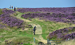 © Licensed to London News Pictures. 23/08/2015. Hole of Horcum, UK. Walkers take a path through the flowering heather at the Hole of Horcum on the North Yorkshire Moors. Photo credit : Anna Gowthorpe/LNP