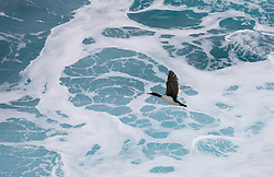 Auckland Island Shag (Phalacrocorax colensoi) endemic to Auckland Islands south of New Zealand