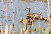 Blue-winged Teal, Anas discors, female with ducklings, Marshall County, South Dakota