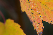 Close-up of New Hampshire autumn leaves