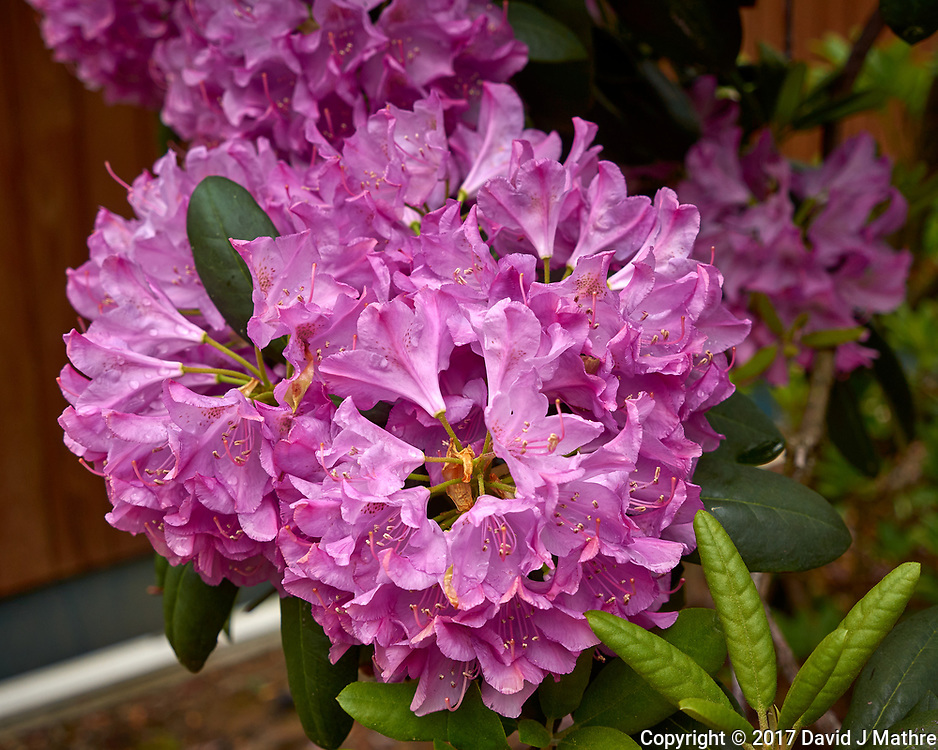 Clusters of Rhododendron flowers. Backyard spring nature in New Jersey. Image taken with a Leica T camera and 18-56 mm lens (ISO 100, 35 mm, f/5, 1/320 sec).
