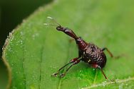 Endemic Giraffe beetle sp. Gaoligongshan NP, Yunnan province, China