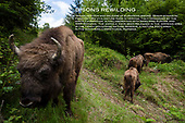 BISONS REWILDING
