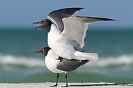 Laughing Gull - Larus atricilla - summer adults mating