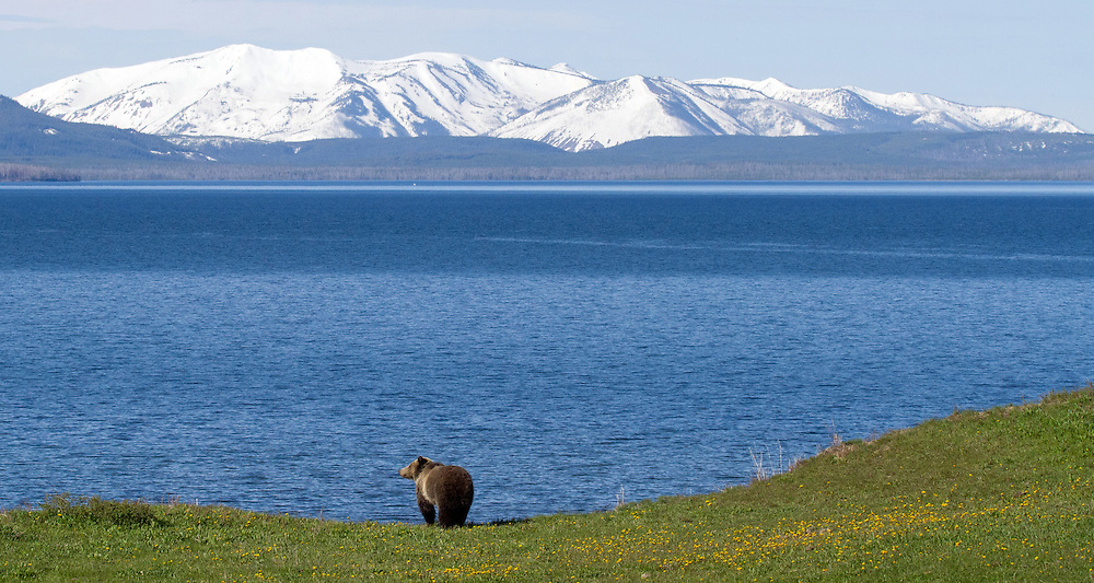 A grizzly surveys his domain along the vast expanse of Yellowstone Lake with snow-covered Mount Sheridan rising in the background.